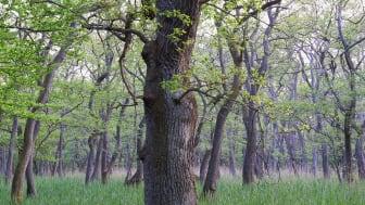 Målet er, at 20 pct. af statens skove skal være urørte.