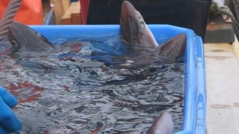 NOAA announces catch limit on spiny dogfish fishery