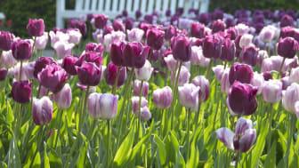 Tulppaanit tuovat suomalaisille kevään.