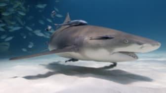 Att dyka med hajar! En undervattensfotografs bekännelser