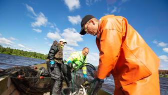 Ammar Alabado, Sala Akabia och Robert Westin under 2018 års reduktionsfiske.