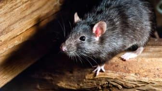 Kontakt din kommune ved mistanke om rotter