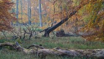 Hele pointen med urørt skov er,  at den er urørt af tømmerhugst. Men regeringen tillader hugst årtier endnu.