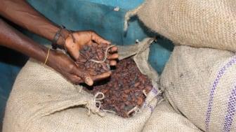kakaové boby, ilustrační obrázek