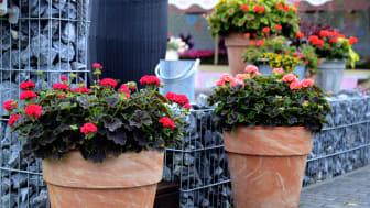 Pelargon ´Brocade´ - Skönheten sitter i bladet - Pelargonens blomma lyser genom kontrastverkan
