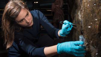 Geobiologen Therese Sallstedt provtar de levande mattor som täcker väggarna i Kungsträdgårdens tunnelbanestation. Foto: Johannes Lundberg, Naturhistoriska riksmuseet