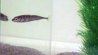 Forskarna studerar hur aggressivt eller socialt fisken av arten storspigg beter sig mot spegelbilden. Foto: Hanne Løvlie