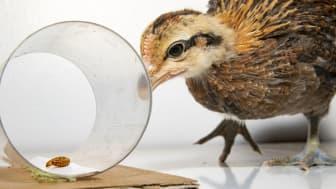 Kyckling av djungelhöns som gör ett impulsivitetstest. Foto av Sam Hurenkamp