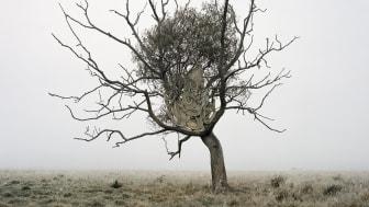 Syntolkning: Vindpinat träd som lutar åt ett håll med knotiga grenar. Vid stammen en bit upp ett tygstycke och bladverk
