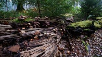 Urørt skov er meget bedre for biodiversiteten end ny skov. Foto: David Buchmann