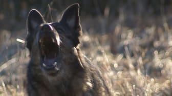 SKK kritiserar TV3s Jagad av hundar