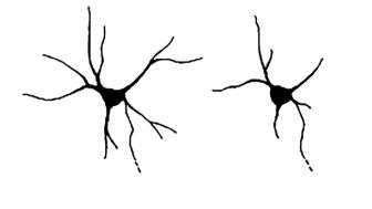 Till vänster en normalt utvecklad nervcell, i jämförelse med en nervcell som saknar neurchondrin, till höger, med färre och kortare utskott.