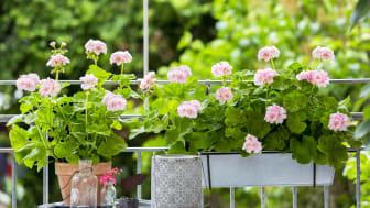 Skapa en mysig plats på balkongen eller uteplatsen med hjälp av pelargoner.
