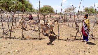 Gehege bieten Schutz gegen grausame Esel-Diebstähle. (Foto: Meru Animal Welfare Organization)