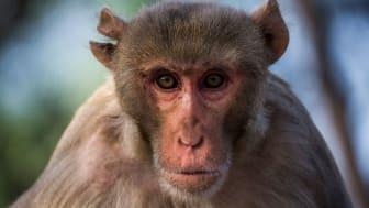 Makaker, och andra djur, har mycket svårt att hantera information som kommer i en viss ordning. Det kan vara just det som skiljer människor från andra djur. Foto: Johan Lind/N