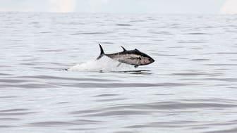 Blåfenad tonfisk. Foto: Markus Lundgren, Sportfiskarna