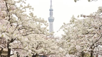 TOKYO SKYTREE and SAKURA