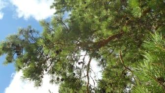 2021-05-05 Webbinarium: Skogsträds- och växtförädlingens roll i klimatpolitik