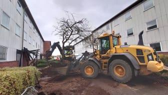 Två träd av sorten Prydnadsapel flyttas från Grönkulla och får nytt hem på Blåkulla som också ligger på Drottninghög.  Det krävdes en grävskopa för att få med alla rötter.