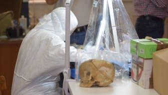 Studiens försteförfattare Emma Svensson samplar skallbenet från Peştera Muierii 1.  Foto: Mattias Jakobsson.