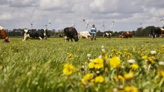 Arla Hof in Schleswig-Holstein, Kühe beim Weidegang