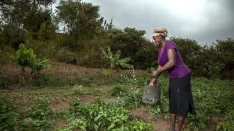 Entreprenören Alice Nduku bevattnar sin odling i norra Kenya.