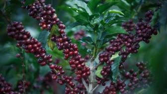 Bär från kaffebusken