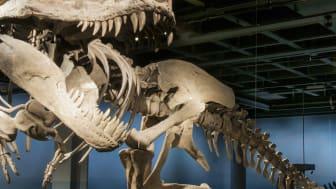 Fossil och evolution - Tyrannosaurus rex