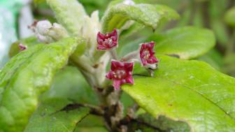 St Helena olive (Nesiota elliptica) var en brakvedsväxtart som upptäcktes 1805 på Sankt Helena, södra Atlanten. Arten utrotades 2003 men dess genetiska material lagrades i Kews DNA-bank och är tillgängligt för forskning. Foto: Rebecca Cairns-Wicks