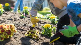 """För femte året i rad hjälper skolbarn oss att göra fint i Barnens rabatt. I år är det barn från Söderskolan som planterar växter utifrån temat """"Godispåse för pollinerare""""."""