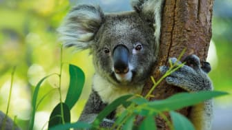 Nicht nur Koalas schätzen Eukalyptus. Bild: Dudarev Mikhail I Fotolia
