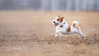 Rätt näringsintag är viktigt för den aktiva hunden. Foto: Doggy AB