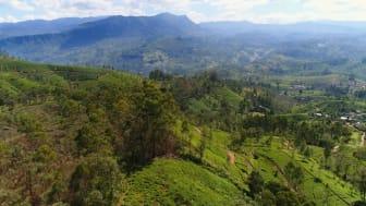 Vad är Ceylon te?