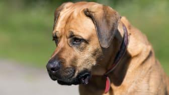 Det kan vara svårt att motstå bedjande hundögon, men var noga med så att hunden inte får för mycket av det goda.