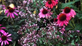Givna sällskapsväxter i violett är  solhatt, Echinacea; kärleksört, Hylotelephium; grekvädd, Knautia macedonica.