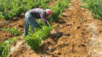 Chateau Musar vineyards Bekaa Valley