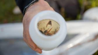 Insektslivet i ett område inventeras med hjälp av fönsterfällor. Så här kan det se ut i en burk när fällorna har tagits ned. Foto: Susanna Bergström, SLU
