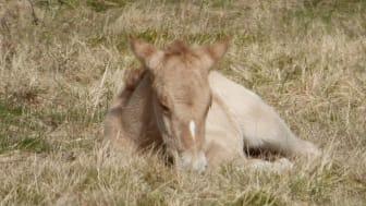 Foto af de konik heste der bliver sat ud på Bjergskov. Her et hingste føl.