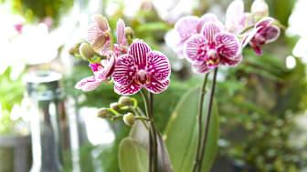 Inspirations- och kunskapsföreläsning om orkidéer