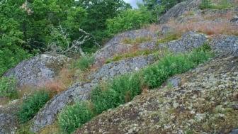 Tulkörtsbestånd i klippskreva – en typisk tulkörtslokal på Tullgarn. Foto: Christer Solbreck