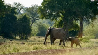 P&CG_elefanter