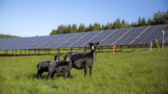 I Solhagen i Torphyttan går fåren och betar bland solpanelerna. Foto: Linde energi.