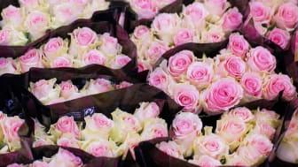 Sedan förra året säljer Plantagen, Willys och Tempo enbart Fairtrade-märkta rosor. Foto: Fabian Sturm