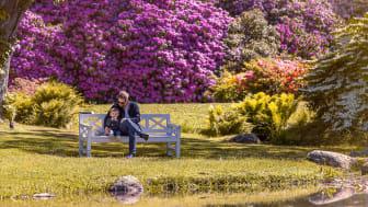 Tid för rhododendron på Sofiero. Foto: Mattias Berglund