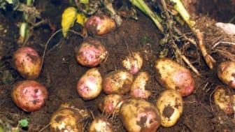 Inventering i fält och på potatisknölar är en viktig åtgärd är en viktig åtgärd – både för att upptäcka nya fall och för att öka kunskapen om hur rotgallnematoderna sprider sig och hur de kan bekämpas effektivt.  Bild: Conny Thålin.