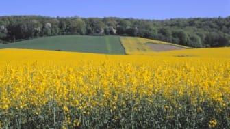 Årets skörd av oljeväxter som raps förväntas bli den största hittills under 2000-talets största . Bild: Urban Wigert