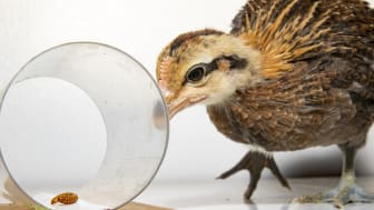 kyckling-impulsivitet-Lovlie-1.jpg