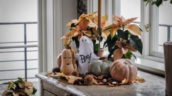 Svenskodlade höststjärnor och pumpor skapar Halloweenstämning. Foto: Åsa Myrberg