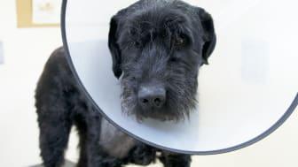 Skadad hund med halskrage. Fotograf: Karolina Jakstrand.