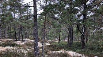 Hällmarkstallar. Foto: Birgitta Silfverhielm